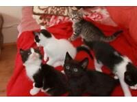 3 kittens for sale (10 weeks old)