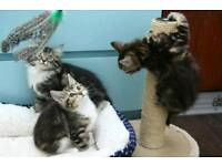 Tabby and black and white kittens ready for new homes