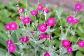 Pink Campion 'rose flowers '