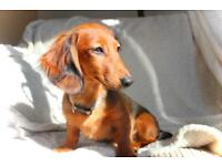 Trained Miniature long haired dachshund male
