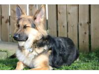 11 month old german shepherd pup for sale