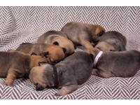 French bulldog puppies 3 boys 4 girls