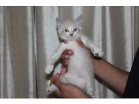 Female Lilac Ragdoll kitten