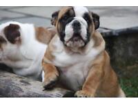 English bulldog puppy girl triple carrier