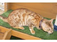 FEMALE BENGAL 18MONTHS OLD SUPER SMOOCHY (INDOOR ONLY)