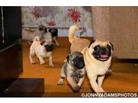 Pug pup bitches
