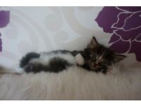 Lovely fluffy kittens to sell