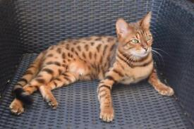 Missing cat £1000 reward older female bengal spayed. Spotted leopard tiger cat.