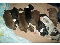 Top Quality Border Collie Puppies