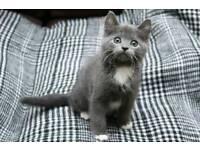 BSH x kitten girl