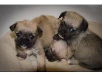 F1 Shorkie Puppies - Ready early Oct