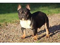 French bulldog blk tan choc
