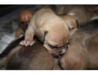 Litter of Staffordshire Bull Terrier Cross Puppies