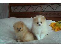 pomeranian puppys pedigree
