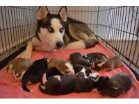 Siberian Husky Puppies For Sale (ONLY TWO LEFT)
