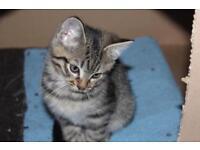 Male Tabby kitten