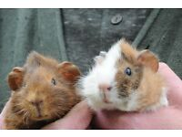 Male Baby Guinea Pigs