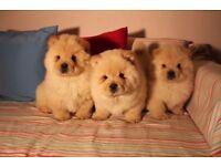 Cream colour Chow chow puppies