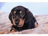 Miniature dachshund pups