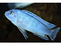 Malawi Cichlid,Pseudotropheus socolofi,Powder Blue Cichlid.