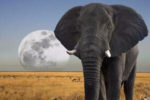 """Beautiful 28""""x42"""" High Definition """"MOON OVER ELEPHANT"""" Picture."""