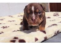 Olde tyme bulldog puppies