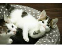 Tabby and white kittens for sale all girls