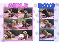Staffordshire Bull Terrier Puppys Rare Colours!