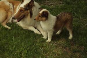 Chiot Colley à Vendre (Rough Collie Pup for Sale)