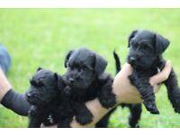 Adorable Black Miniature Schnauzer Pups for Sale KC Registered