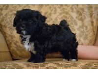 Shih-Poo puppies for sale. Mum Shih-Tzu, Dad black long-haired Miniature Poodle