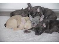 Litter Of French Bulldog Ready For New Homes