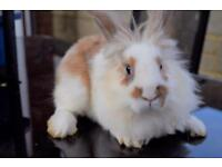 Male Rabbit for sale!