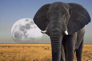 """Beautiful Big 28""""x42"""" High Definition """"Full Moon Over Elephant"""" Picture"""