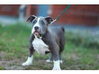 Bully pups abkc reg'd