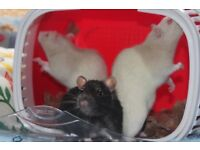 3 Male Fancy Rats - Wee Critters Small Animal Rescue