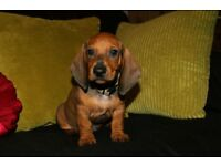 KC Standard smooth haired dachshund puppies