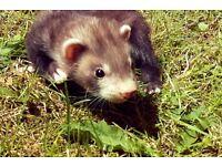 Two hob ferret kits
