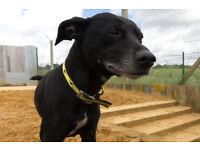 Sweet Staffordshire Bull Terrier Crossbreed