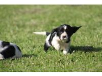 Springer Spaniel Puppies