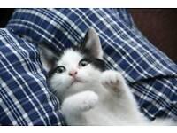 Black n white boy kitten left 8 weeks