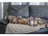 MERLE XL BULLY PUPS