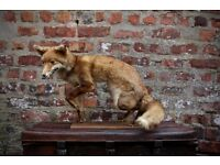 Antique Vintage Imported French Taxidermy Fox