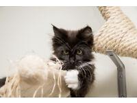 Pedigree Goregous Maine Coon Kitten Boy