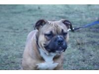 American Bully Male for Sale