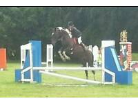 Stunning Tobiano Coloured Mare, 11 years old, 16.1hh, Good Allrounder