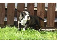 Olde English Bulldogge female
