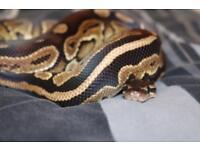 Cinnamon 66% het pied royal Python male