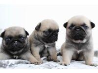 Beautiful female pugs