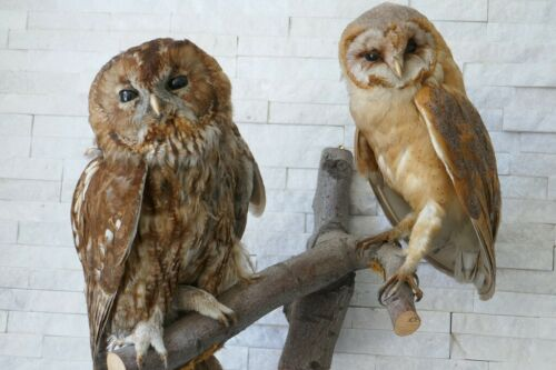 """Taxidermy 2 Owl´s Premium """"BARN OWL & BROWN OWL"""" with PAPERS from 1970"""